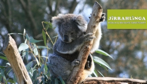Barwon Heads things to do kids koalas