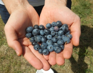 Barwon Heads things to do berry picking